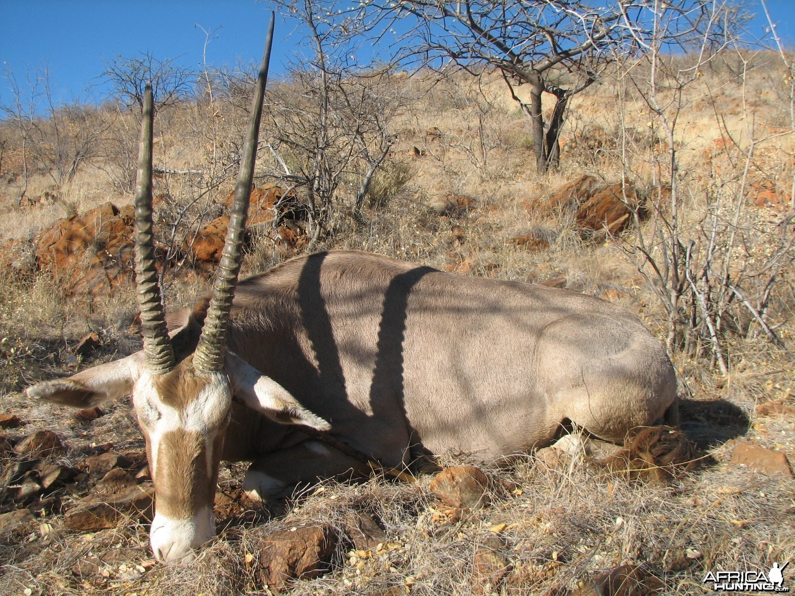 Hunting Golden Oryx in Namibia