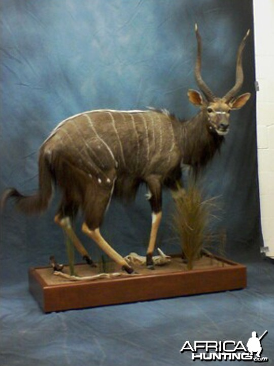 Nyala Full Body Mount taxidermy