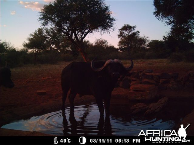 Buffalo at Tally Ho Game Ranch South Africa