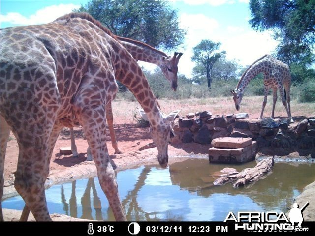 Giraffes at Tally Ho Game Ranch South Africa