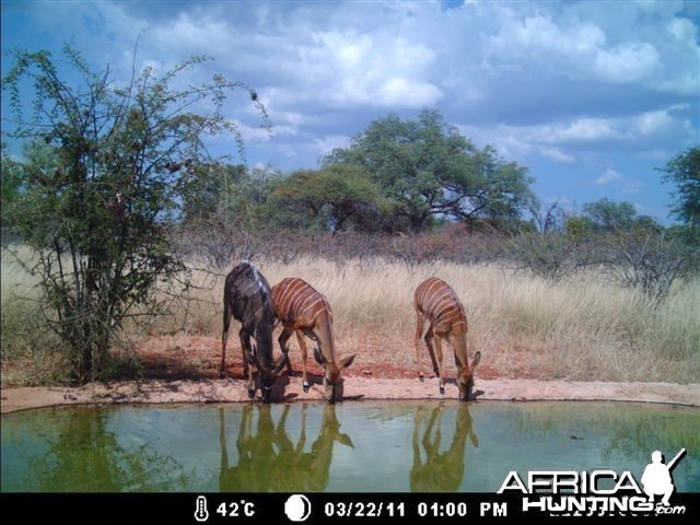 Nyala at Tally Ho Game Ranch South Africa