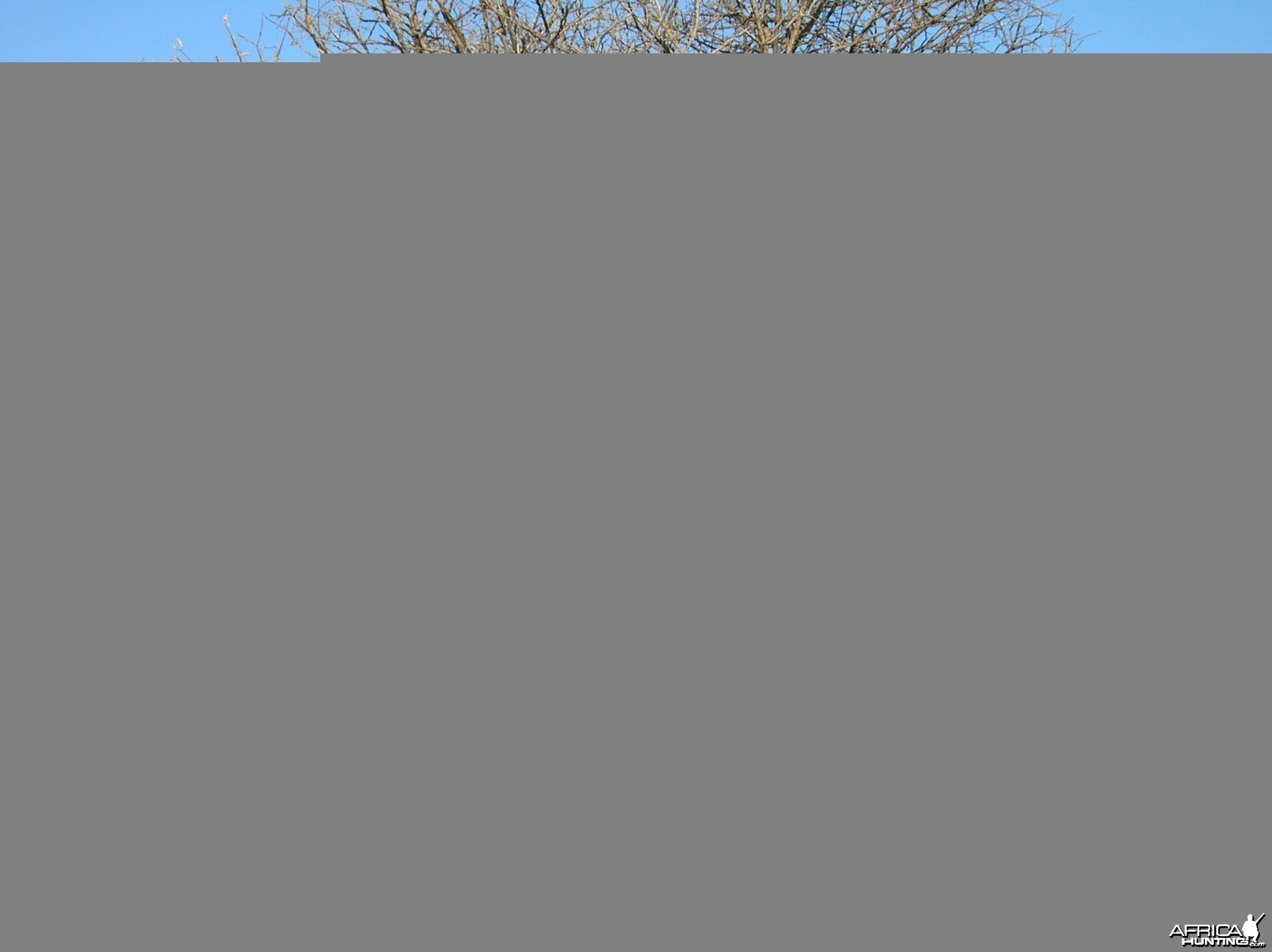 Bowhunting Blue Wildebeest in Namibia