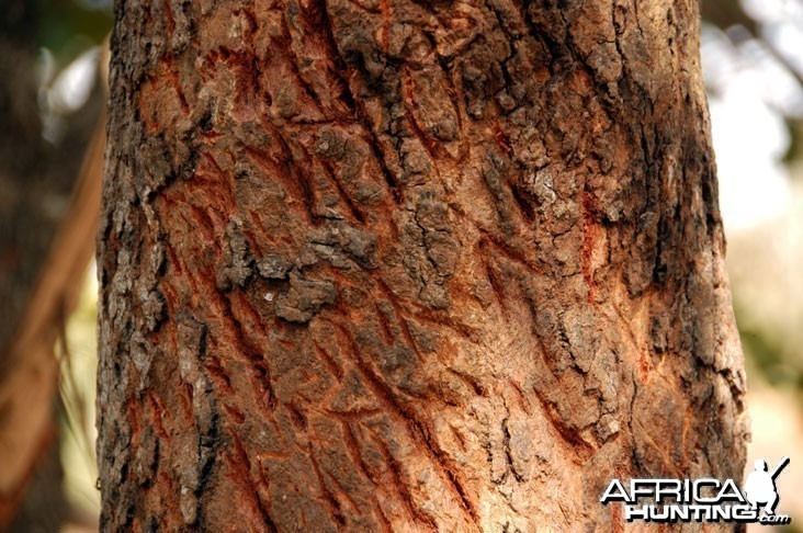 Leopard Tree Claw Marks