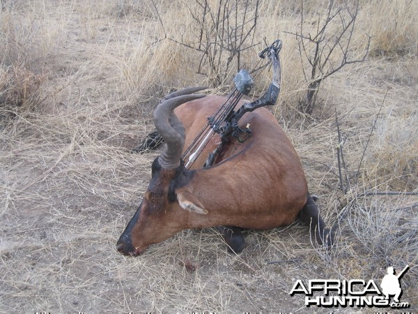 Bowhunting Hartebeest in Namibia