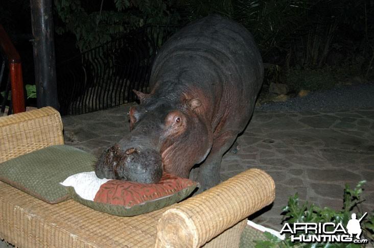 Pet Hippo in Camp
