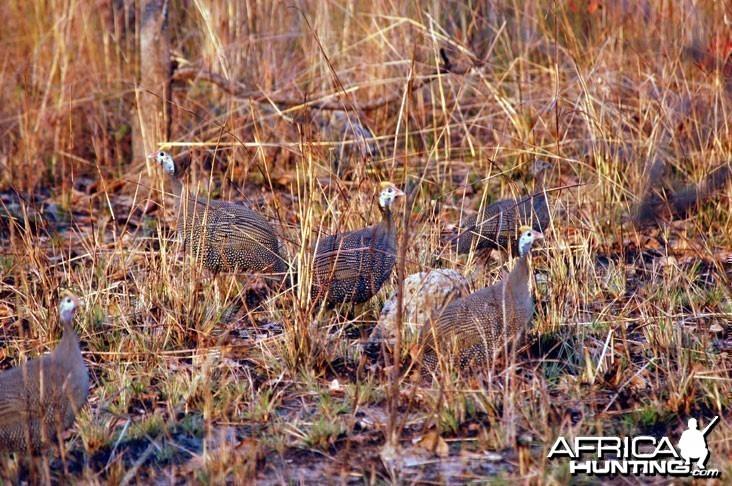 Guineafowl Zambia