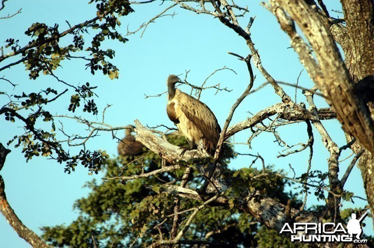 Vulture in Zambia