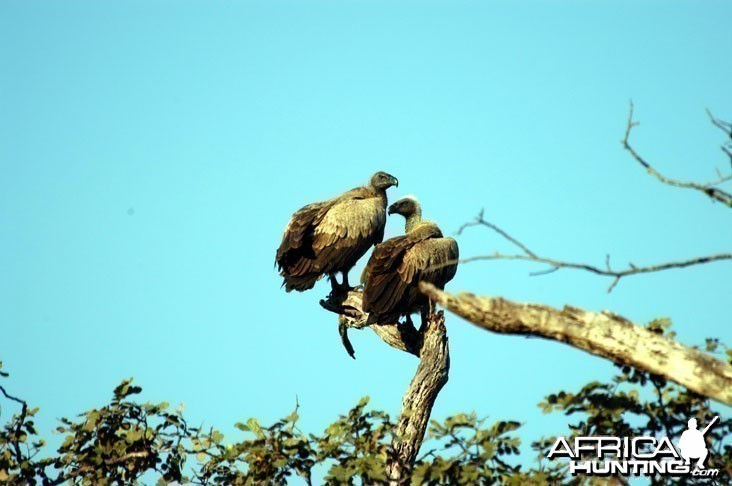 Vulture in Zambia