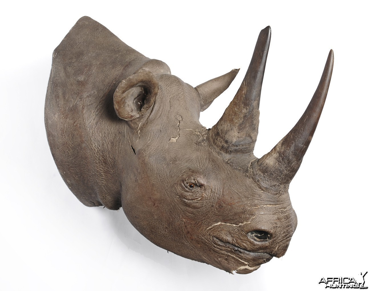 Black Rhinoceros Taxidermy Mount