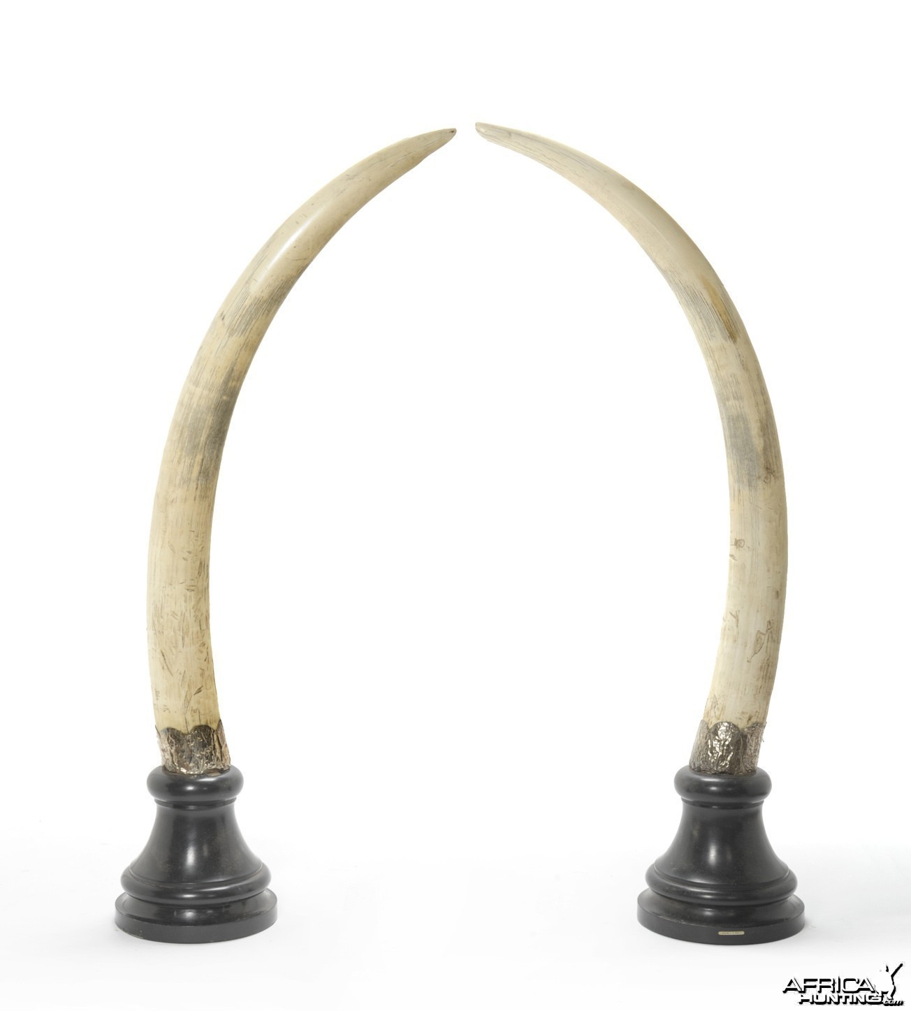 Pair of Elephant Tusks