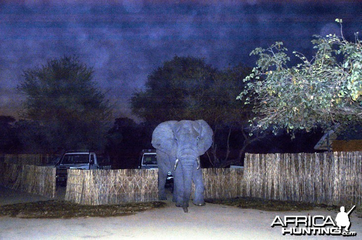 Elephant in Camp Zambia