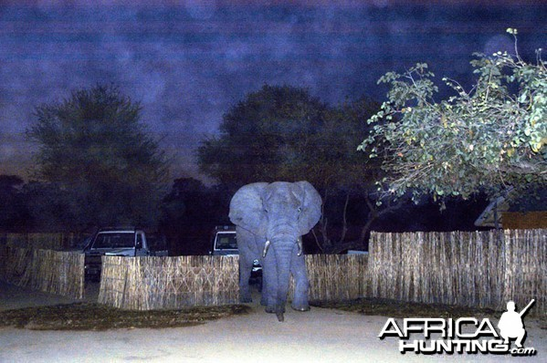 Elephant in Camp Zambia
