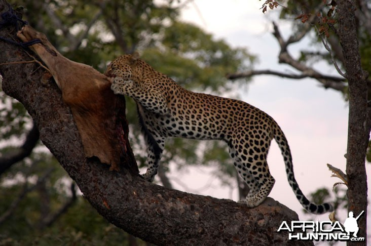 Zambia Hunting Leopard on Bait