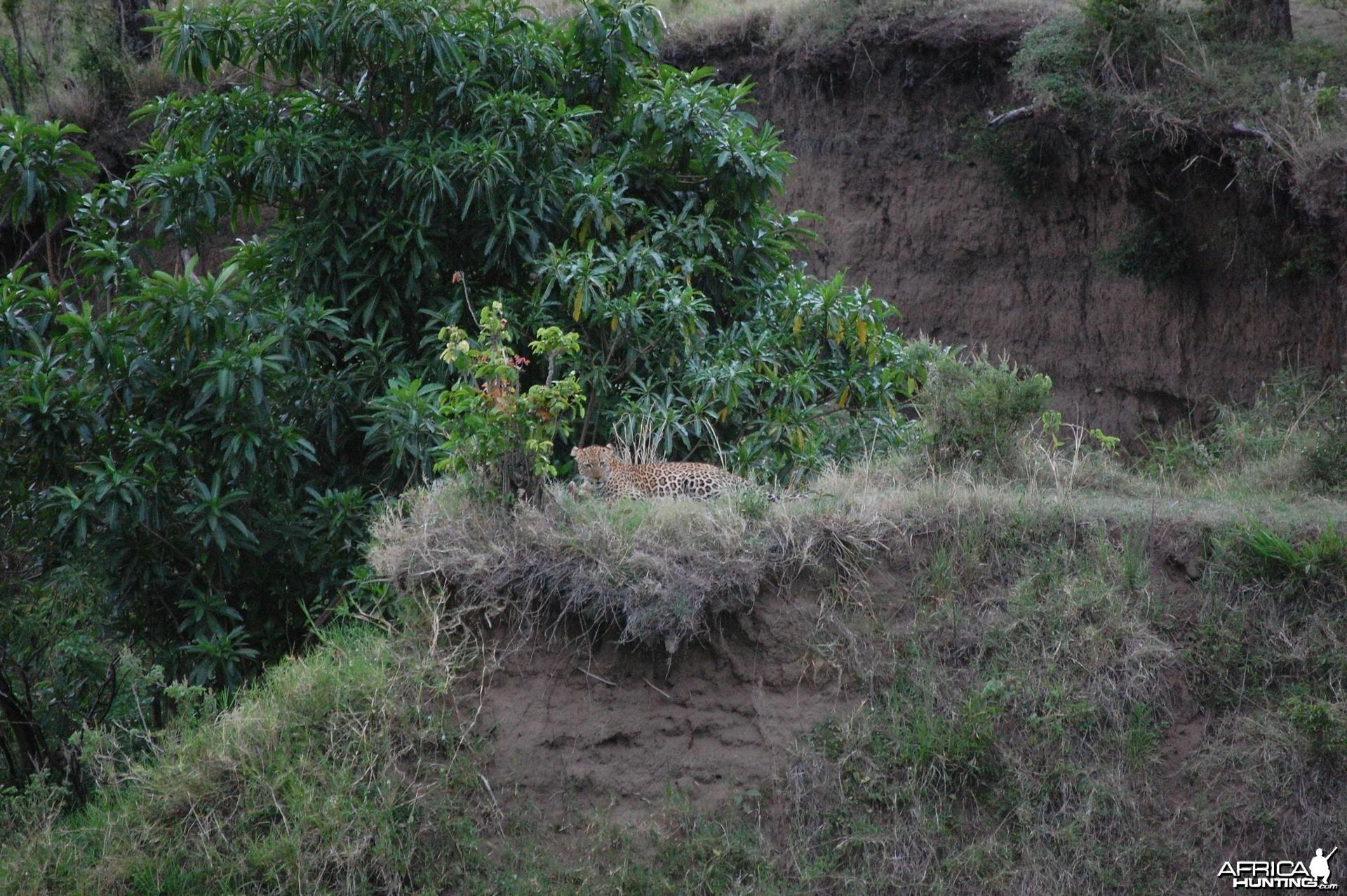 Leopard Tanzania