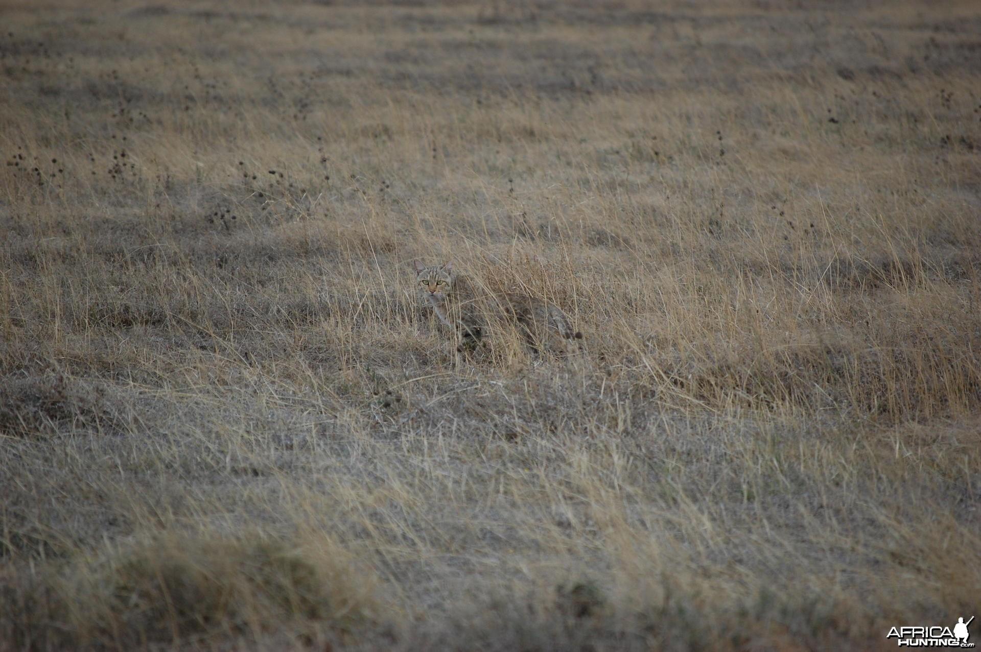 Wildcat Tanzania