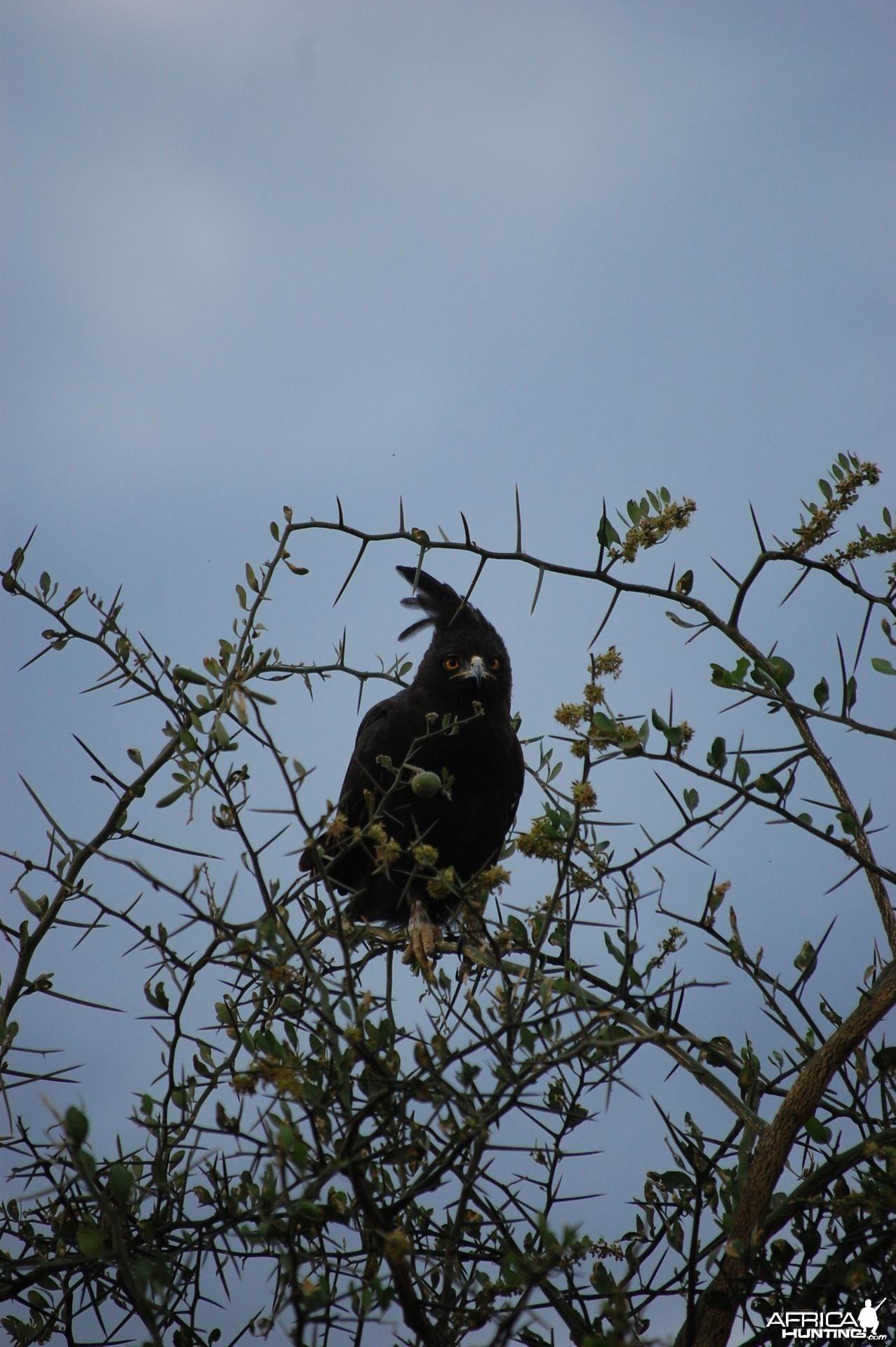Eagle Tanzania
