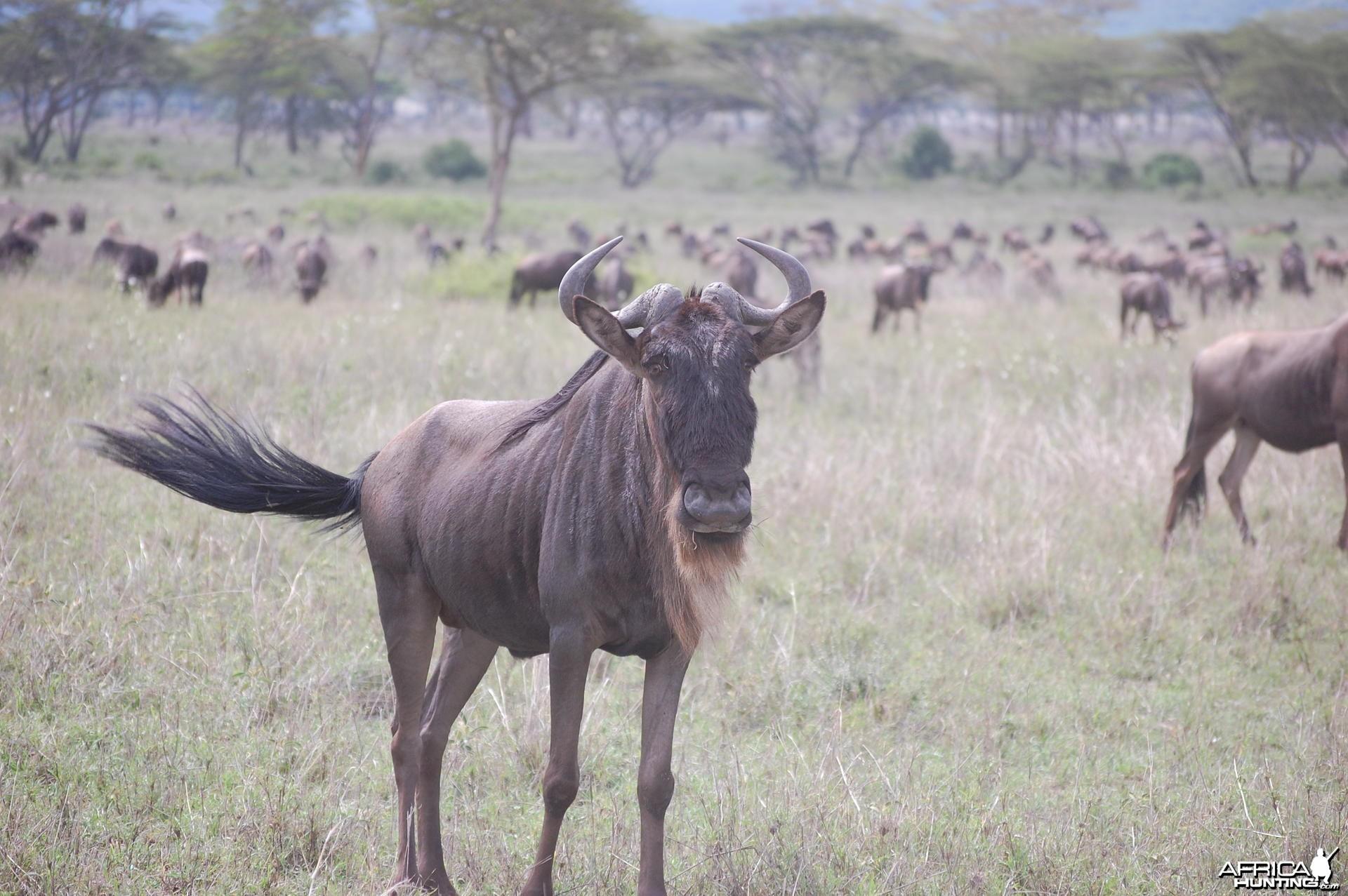Wildebeest Tanzania