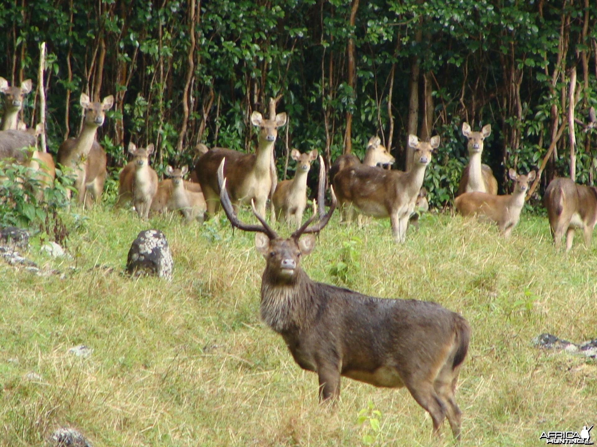 Rusa Deer Mauritius