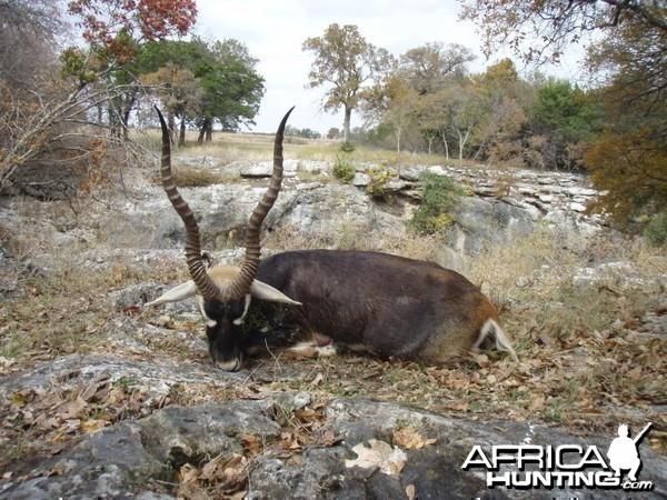Hunting Blackbuck