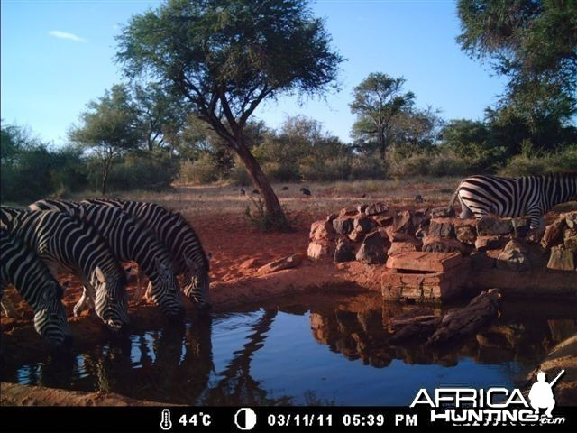 Zebras at Tally Ho Game Ranch South Africa
