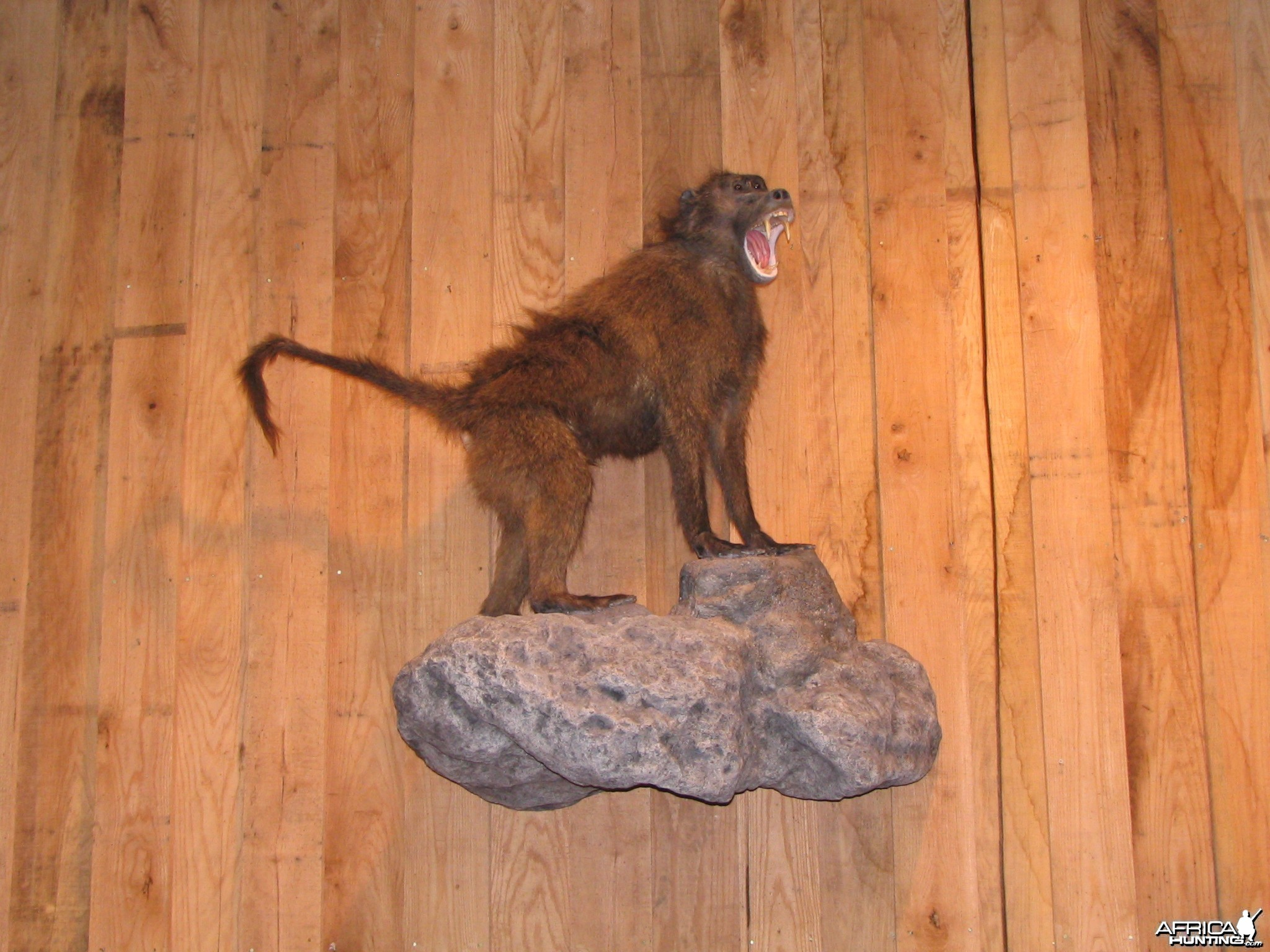 Baboon Taxidermy Mount