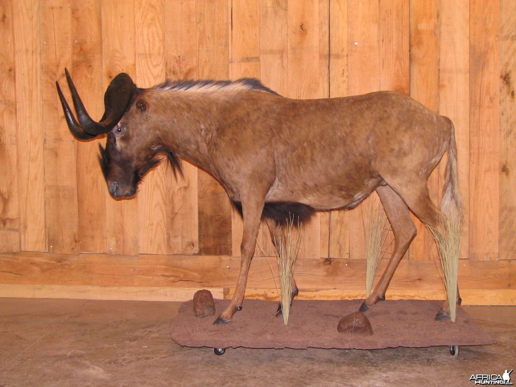 Black Wildebeest Taxidermy Mount