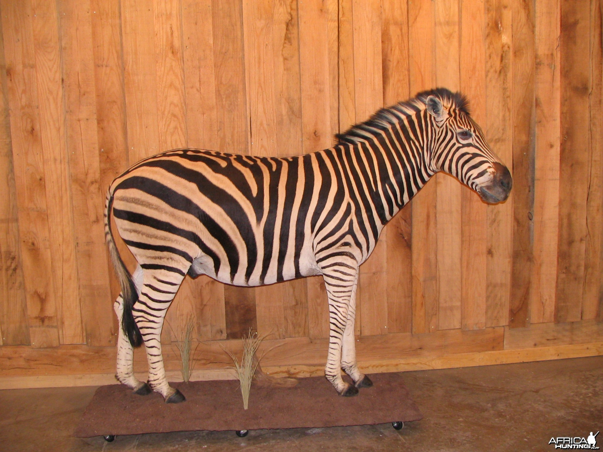 Zebra Taxidermy Mount