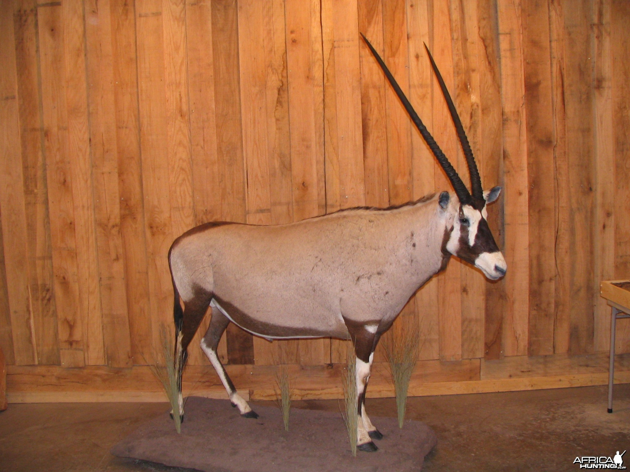 Gemsbok taxidermy mount