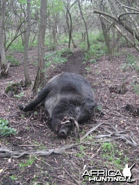 Wild Boar Hunting in Romania