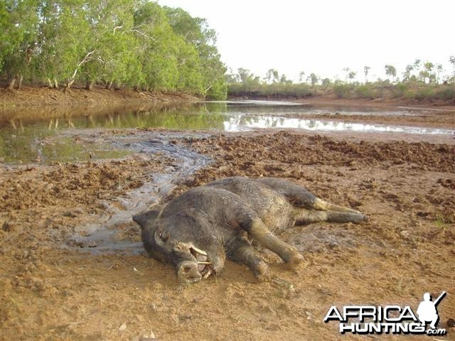 Boar hunting in Australia