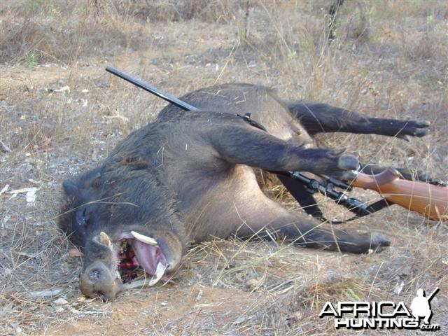 Aussie big boar hunting