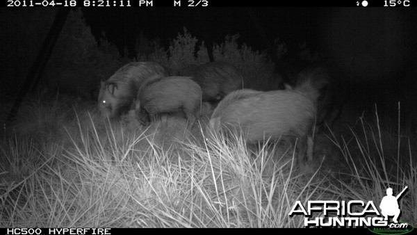 Trailcam photo of Bushpigs from one of our bait stations