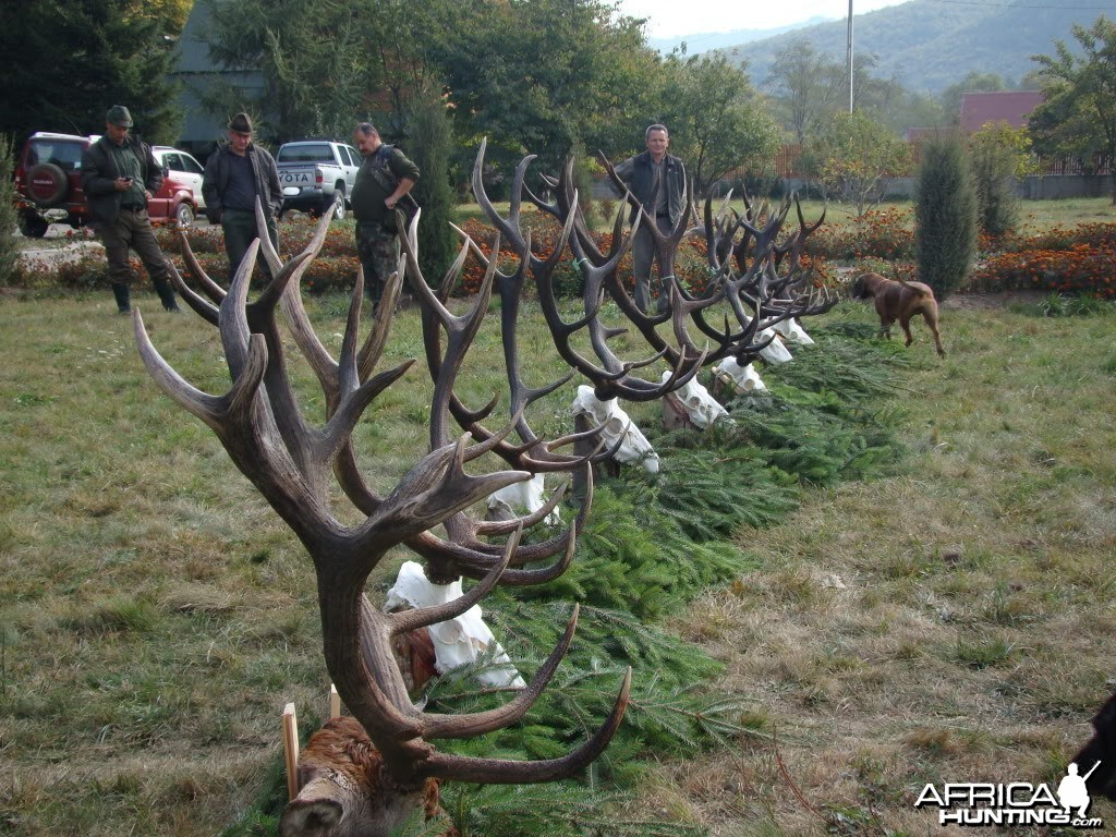 Hunting Red Stag in Romania