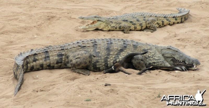 Croc with Nyala
