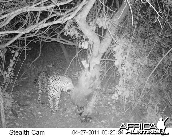 Leopard on bait