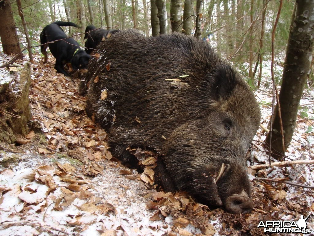 Boar Hunt in Romania
