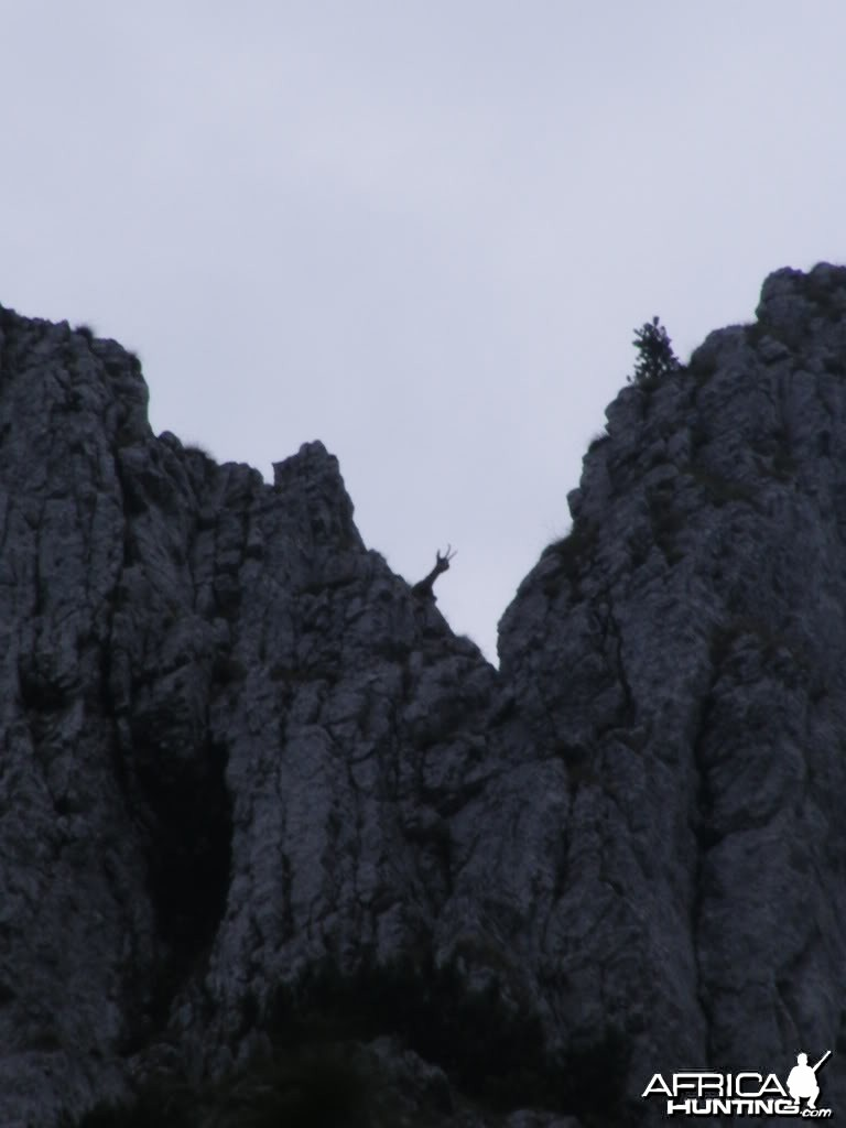 Carpathian Chamois in Romania