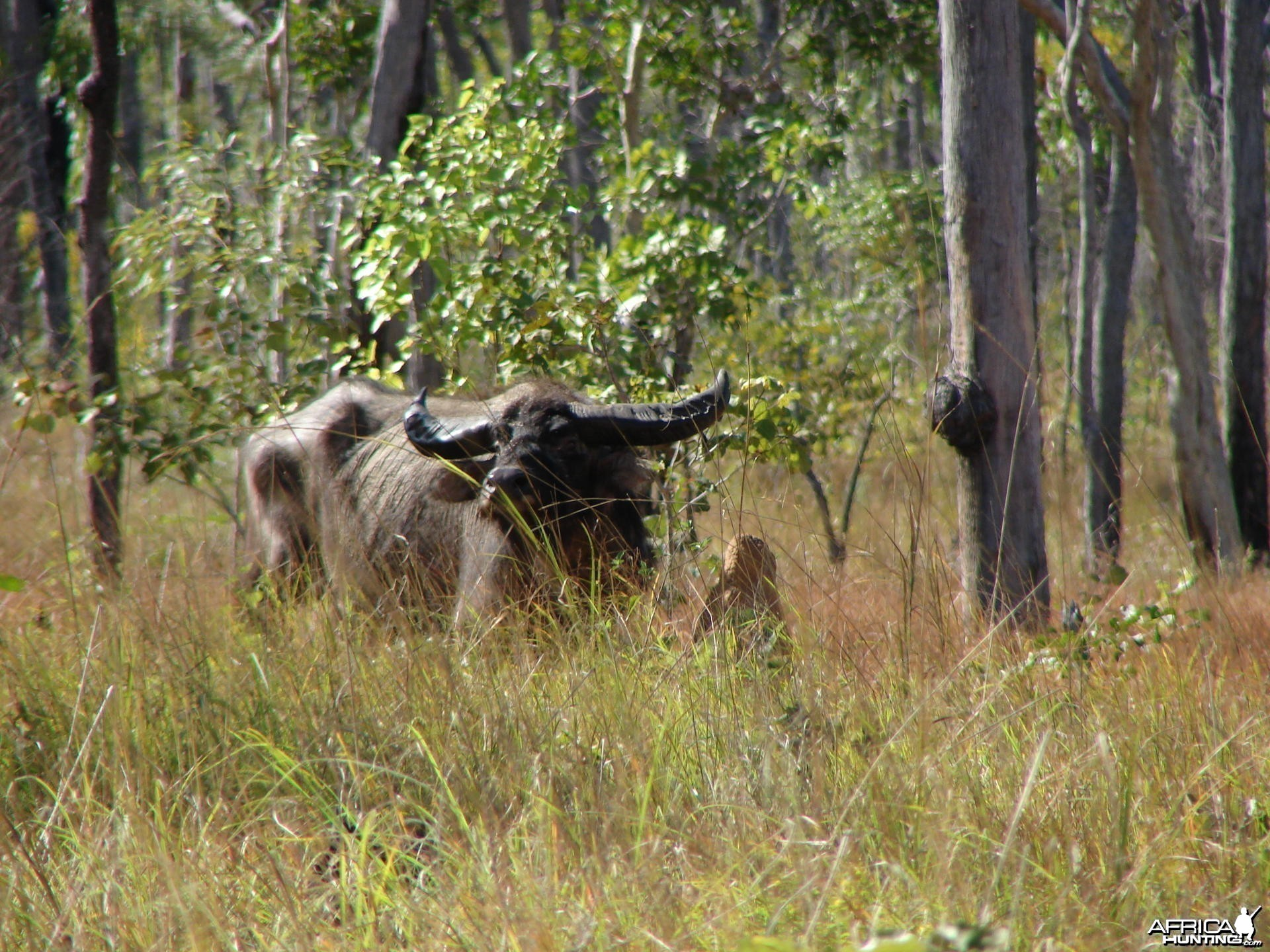 Hunting Buffalo in Australia