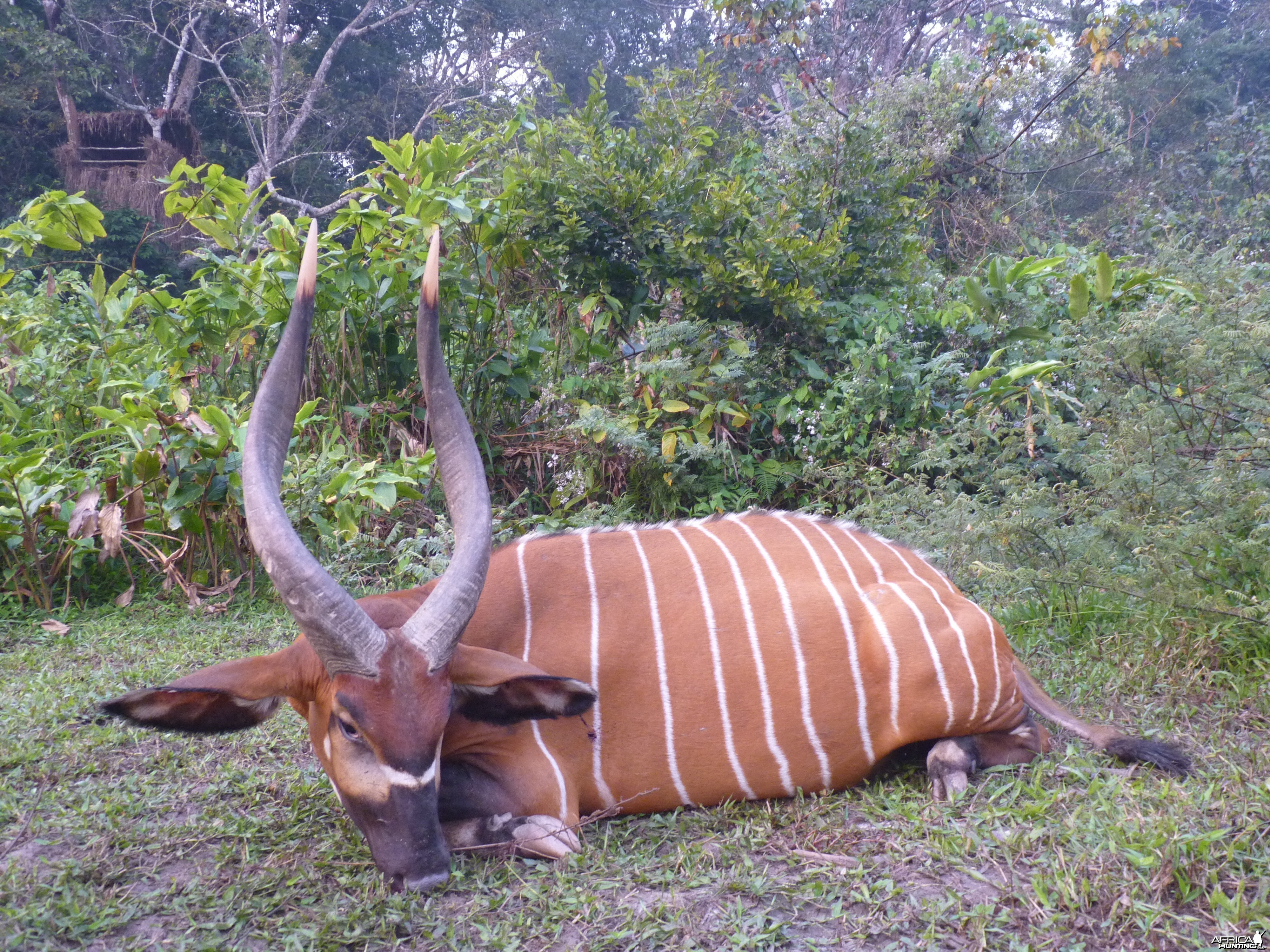 Bongo hunted in CAR