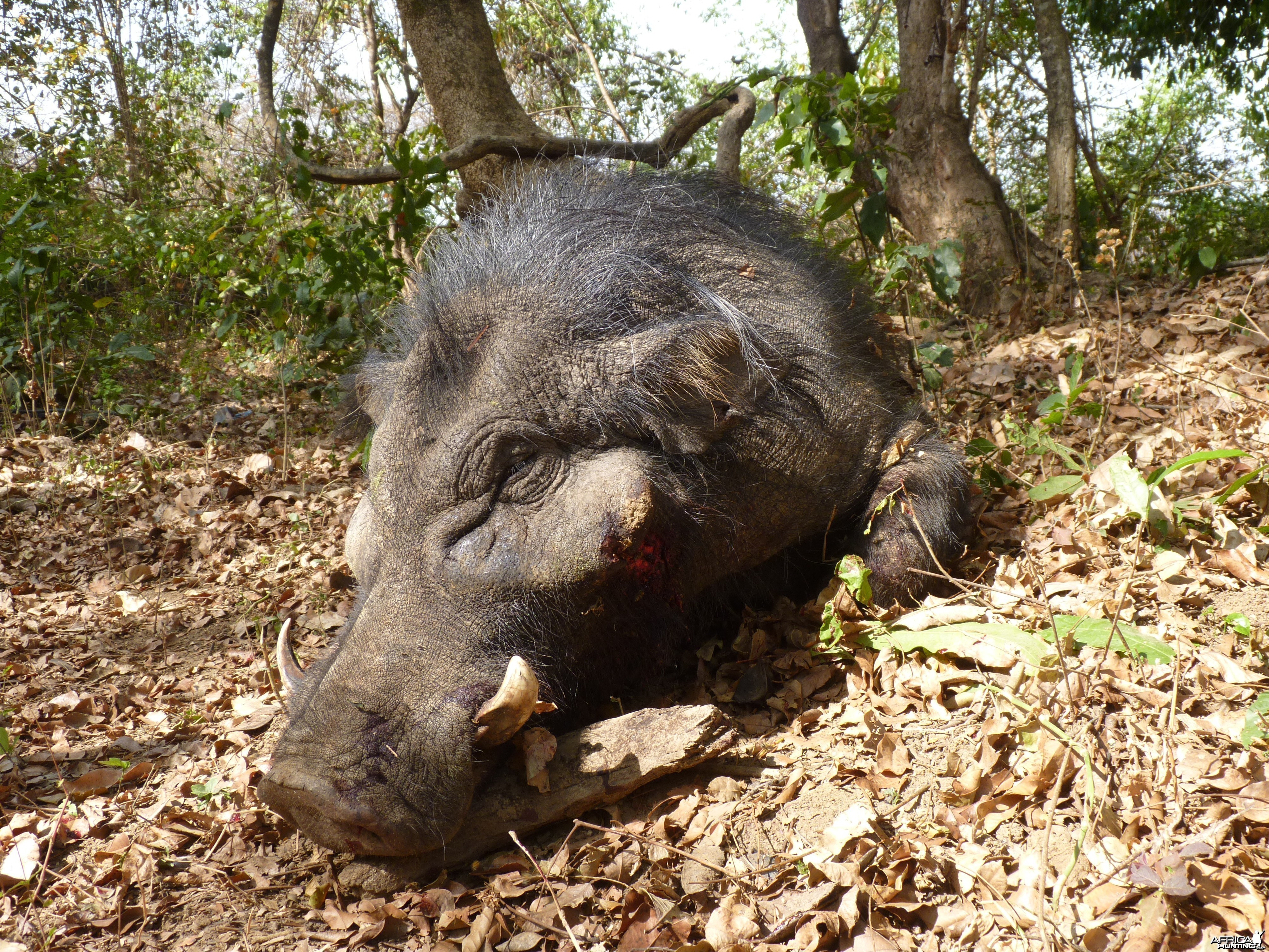 Hunting Giant Forest Hog in Central African Republic