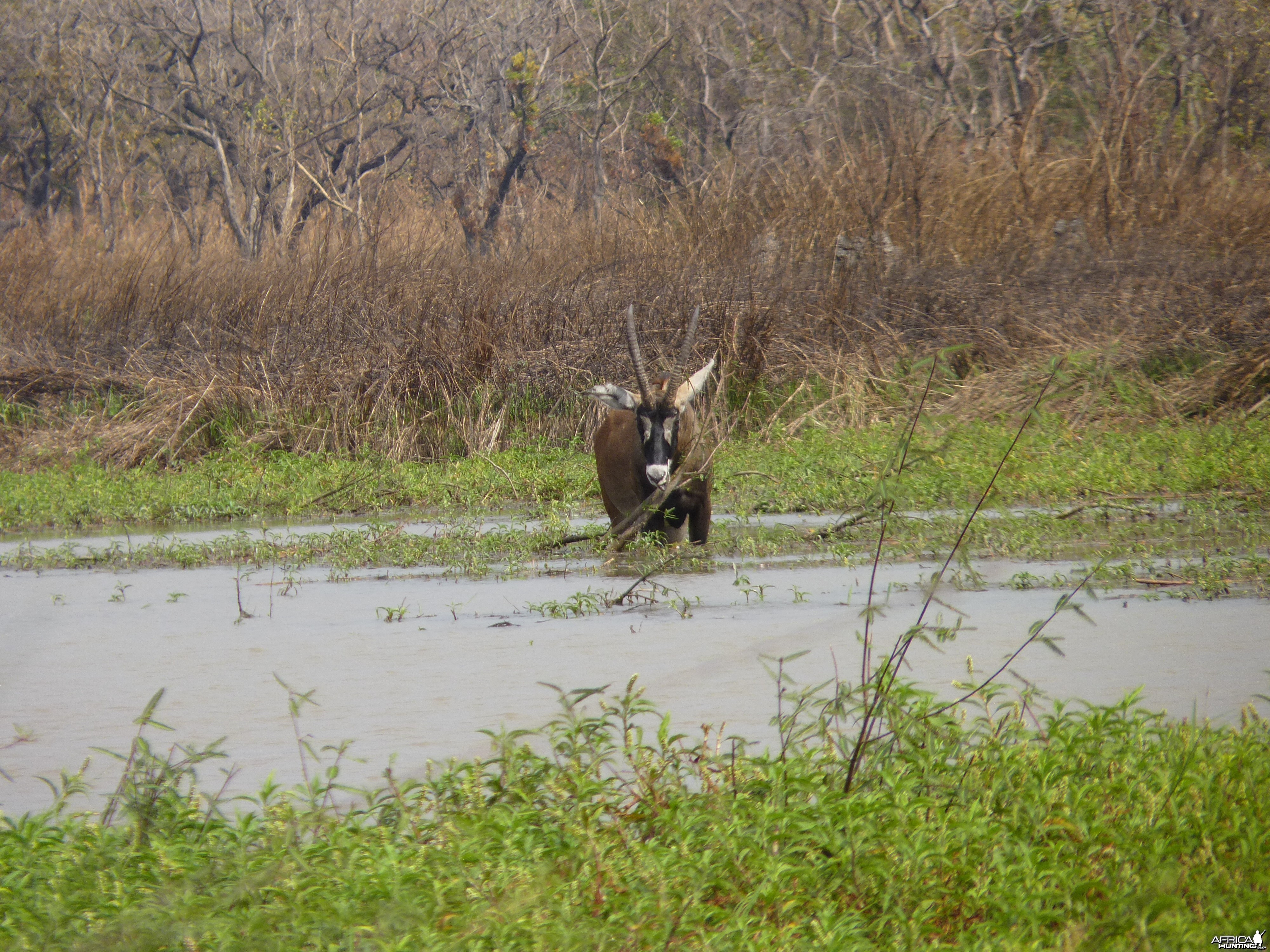 Hunting Roan in Central African Republic