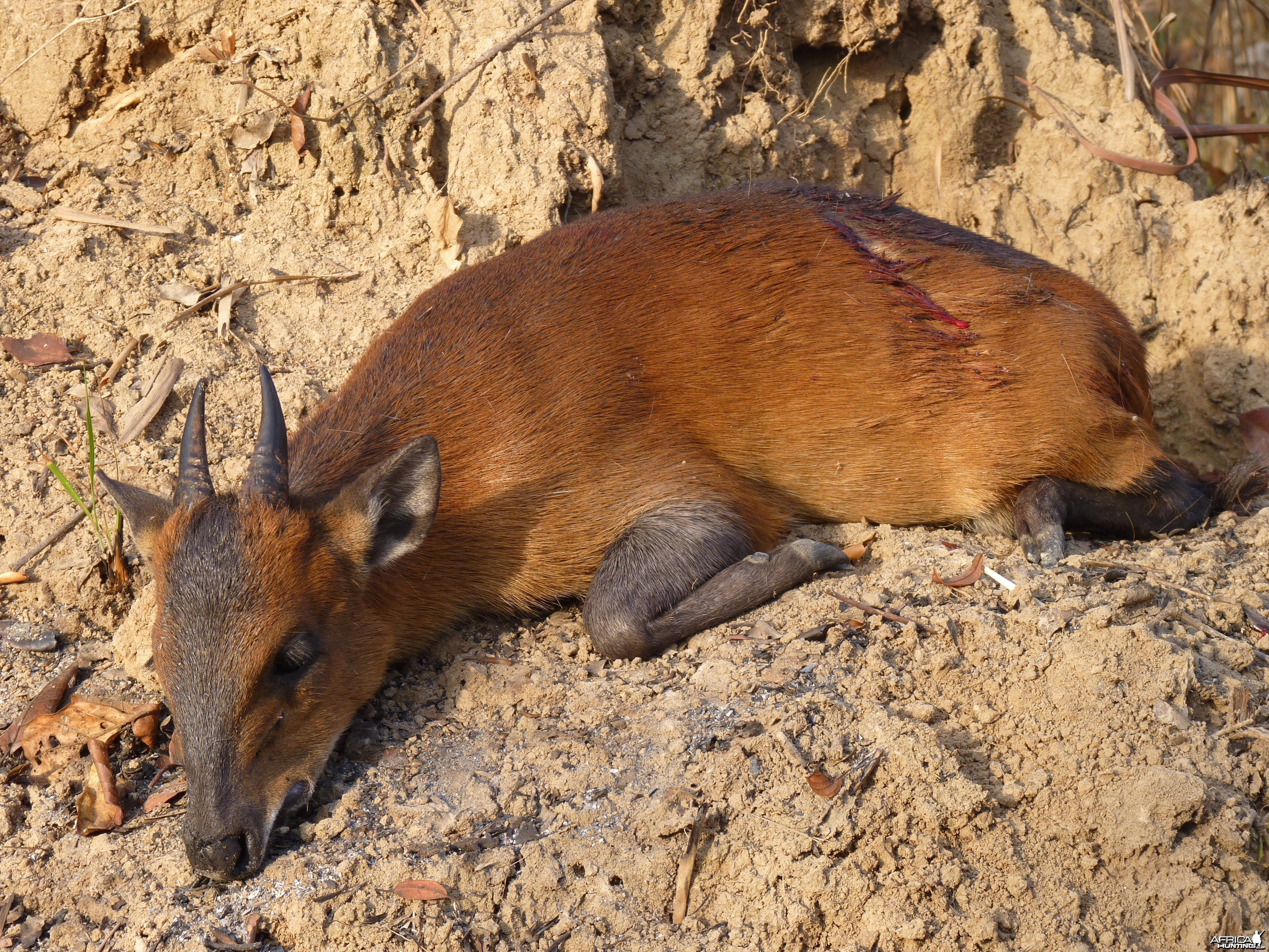 Hunting Red Flanked Duiker in Central African Republic