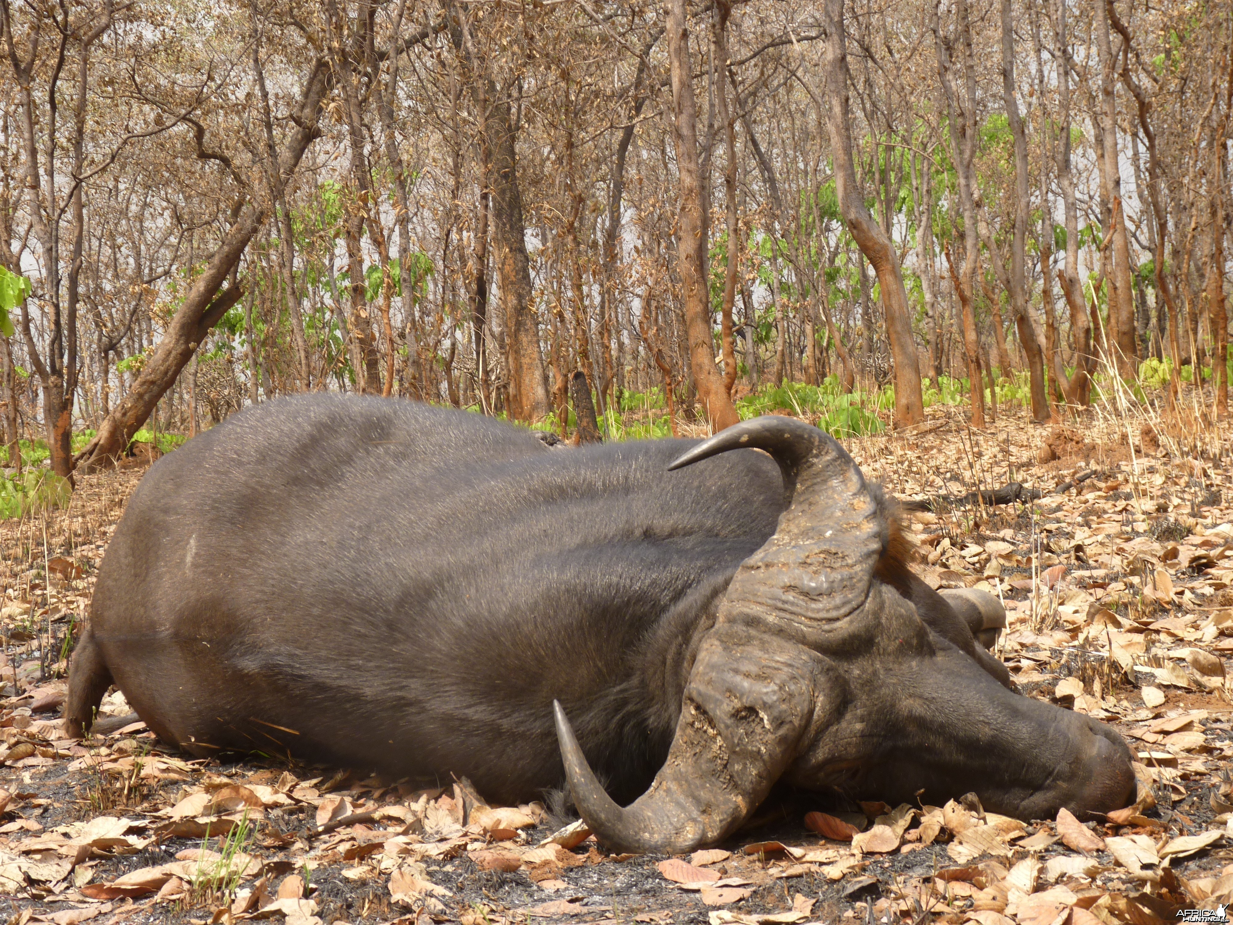 Hunting Buffalo in Central African Republic