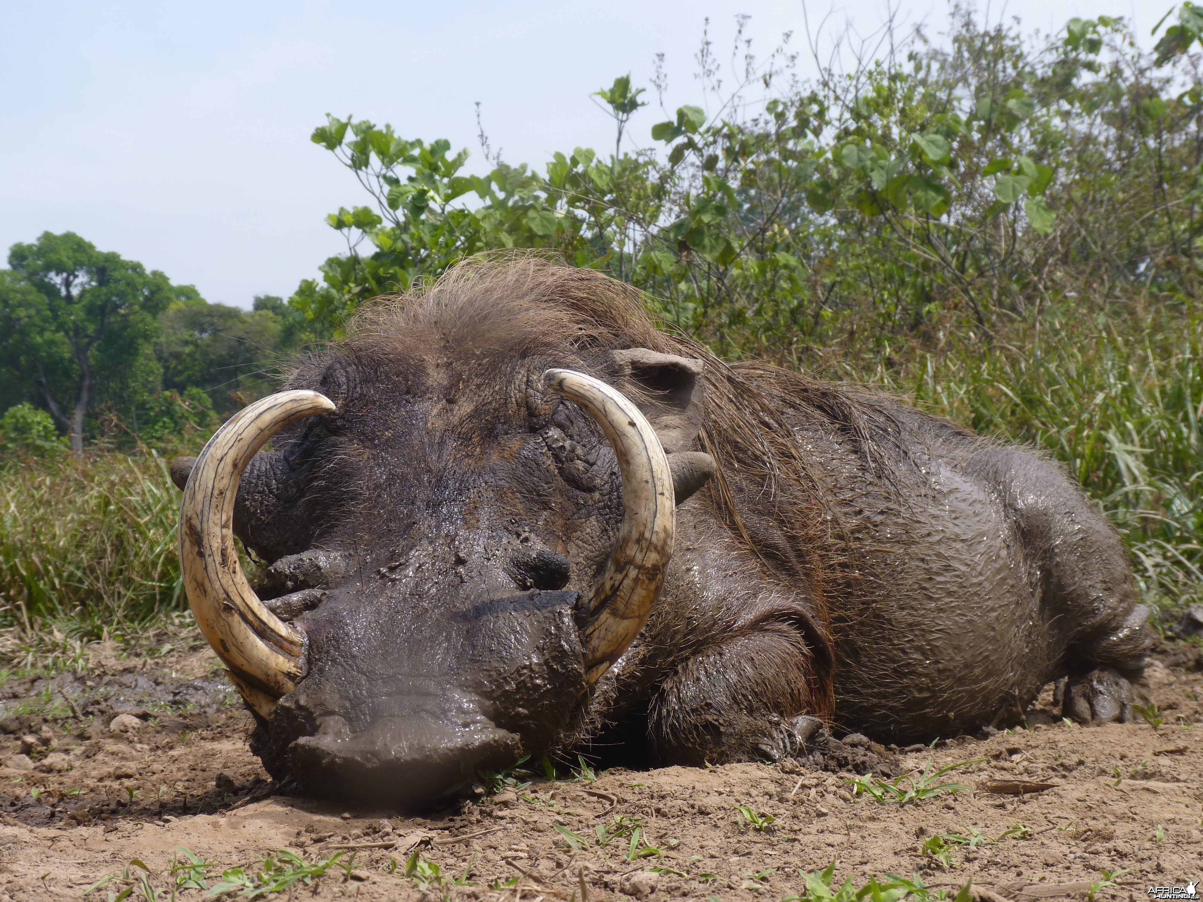 Hunting Warthog in Central African Republic