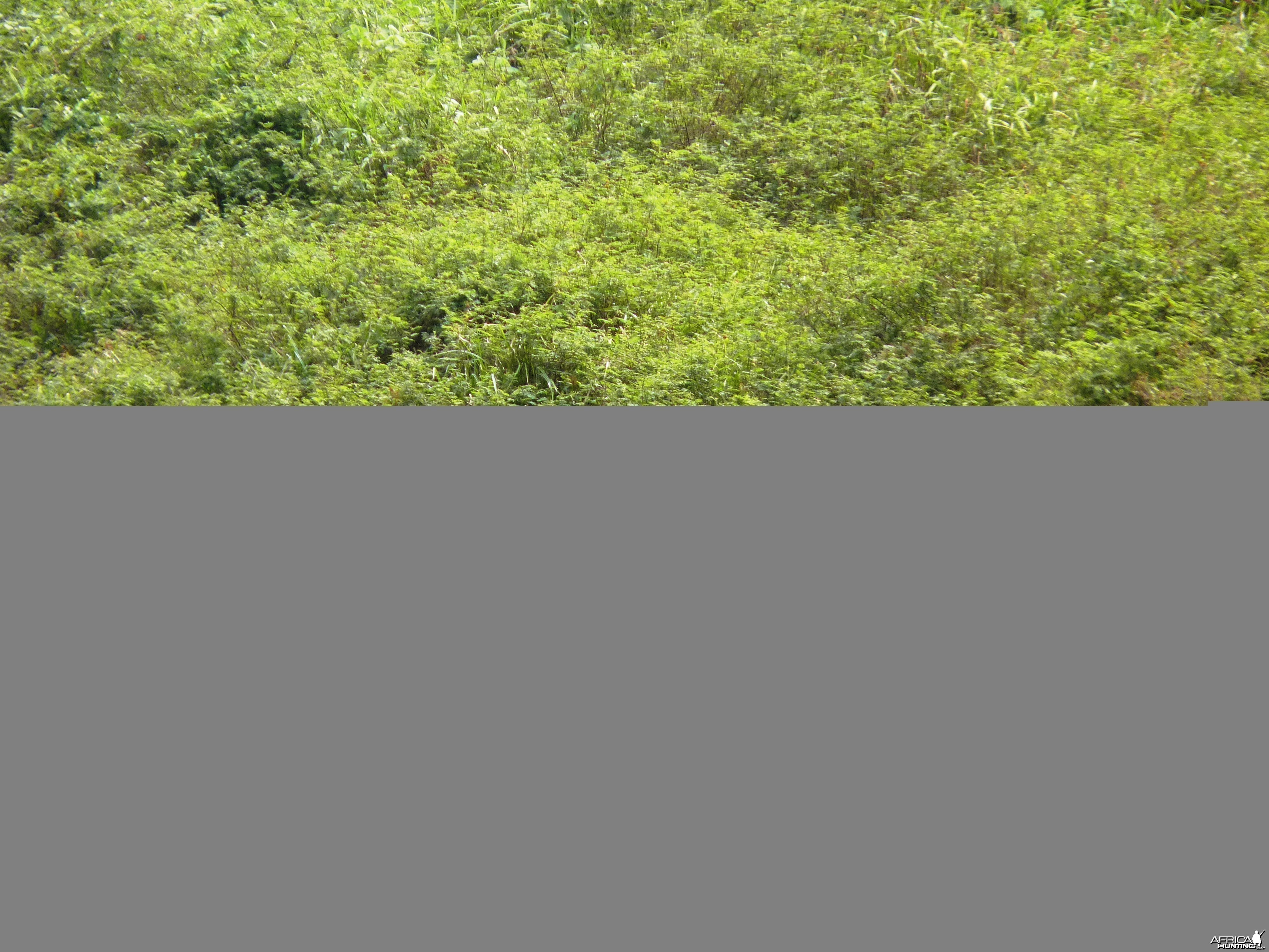 Buffalo in Central African Republic
