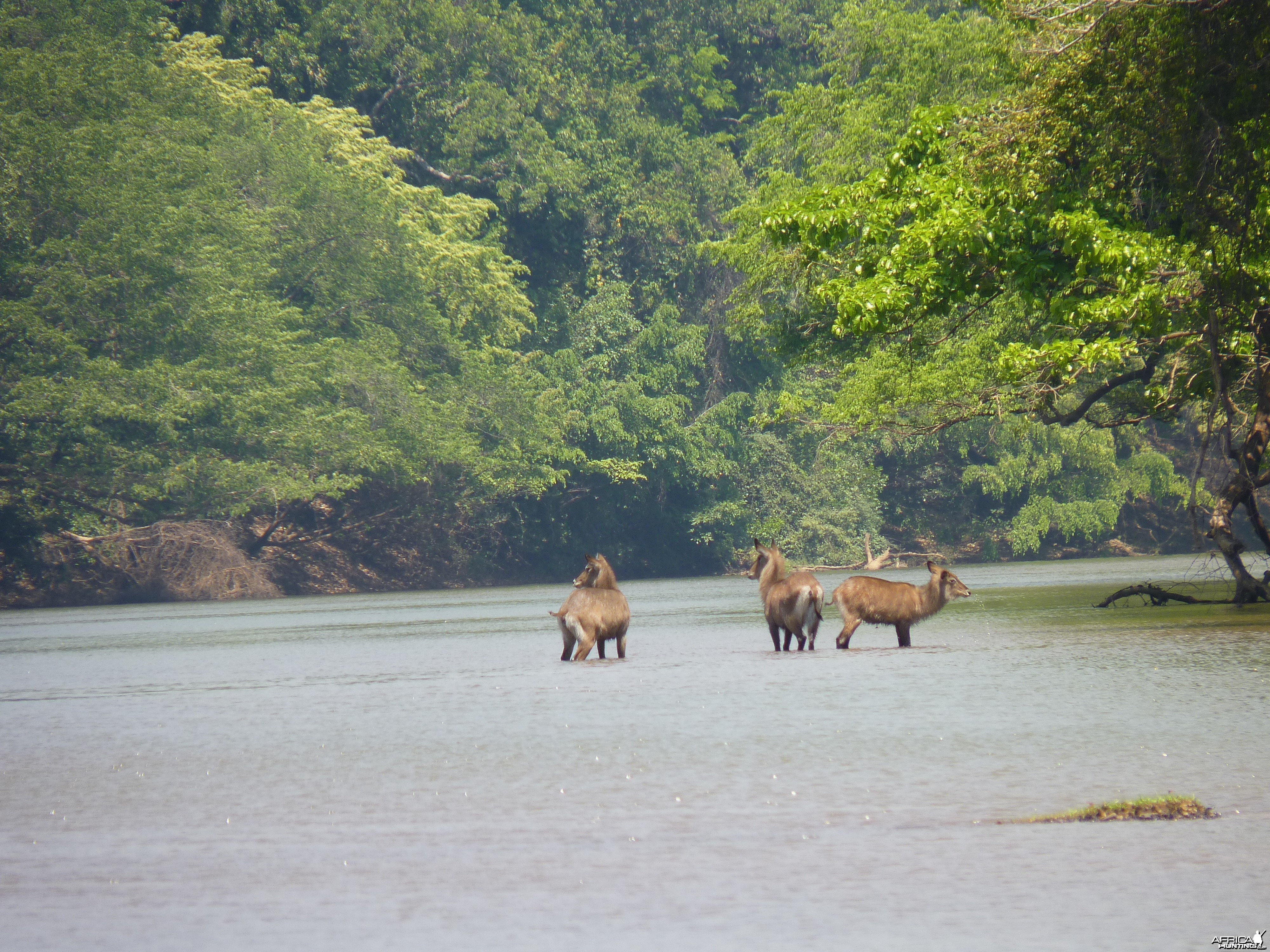 Waterbucks in Central African Republic