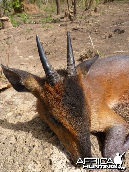 Hunting Red Flanked Duiker in CAR