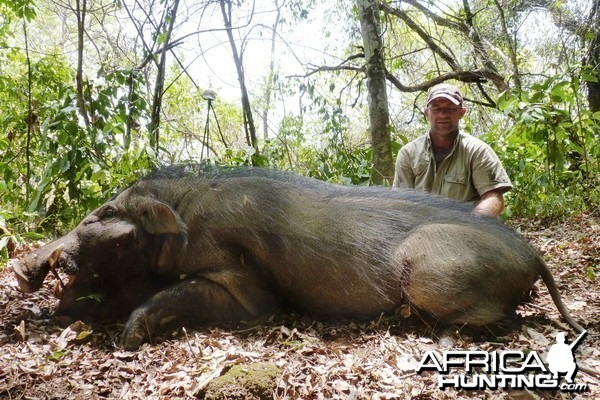 Hunting Giant Forest Hog in CAR