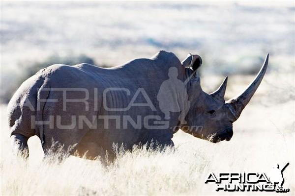 White Rhino Bull South Africa