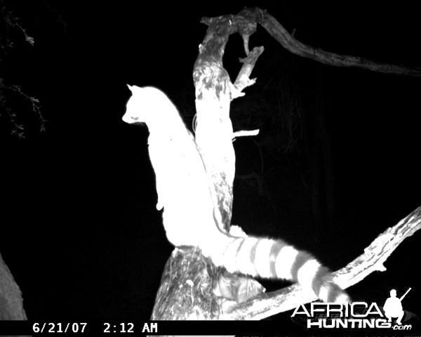 Genet on Leopard Bait at Ozondjahe Safaris Namibia